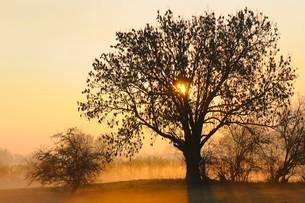 Old Ash tree (Fraxinus excelsior) at sunrise, ground fogの写真素材 [FYI02339370]