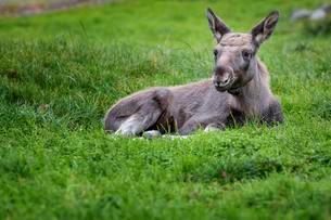 Moose or Eurasian Elk (Alces alces), calf lying in theの写真素材 [FYI02339375]