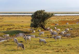 Herd, Hungarian Grey cattle, Neusiedler See National Parkの写真素材 [FYI02339376]