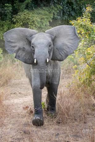 Adolescent African Elephant (Loxodonta africana) in aの写真素材 [FYI02339381]