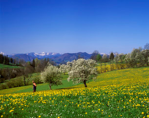 Flowering pear trees with views of the Lower Austrian Alpsの写真素材 [FYI02339395]