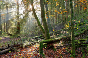 Autumnal lowland forest, Isar, Geretsried, Upper Bavariaの写真素材 [FYI02339400]