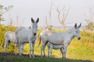 Four Austria-Hungarian White donkeys or Baroque Donkeysの写真素材 [FYI02339411]