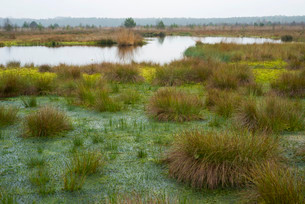Peat Moss (Sphagnum sp.) and Soft Rush or Common Rushの写真素材 [FYI02339451]