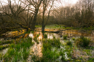 Softwood river meadow with willows (Salix sp.), springの写真素材 [FYI02339469]
