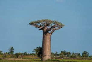 Avenue of the Baobabs, baobab (Adansonia grandidieri)の写真素材 [FYI02339492]