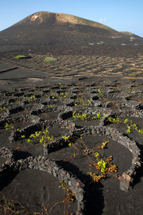Vines protected by dry walls made of lava rocks, globallyの写真素材 [FYI02339501]