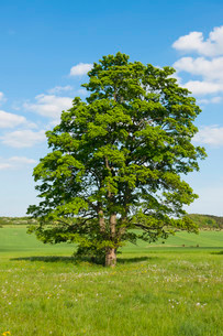 Old Field Maple (Acer campestre), Thuringia, Germany, Europeの写真素材 [FYI02339523]