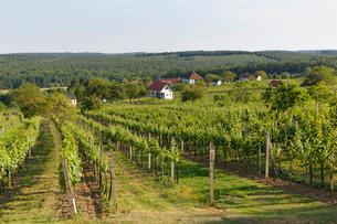 Vineyard Csaterberg, Kohfidisch, Southern Burgenlandの写真素材 [FYI02339543]