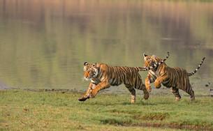 Two juvenile Bengal or Indian Tigers (Panthera tigrisの写真素材 [FYI02339551]