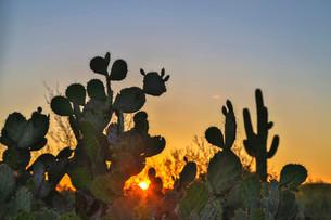 Engelmann's prickly pear cactus (Opuntia engelmannii)の写真素材 [FYI02339584]