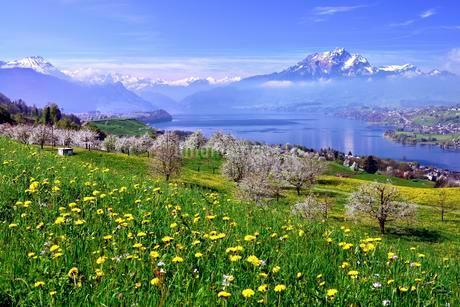 Blossoming cherry trees, Kussnacht overlooking Lakeの写真素材 [FYI02339591]