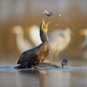 Cormorant (Phalacrocorax carbo), young bird from theの写真素材 [FYI02339608]