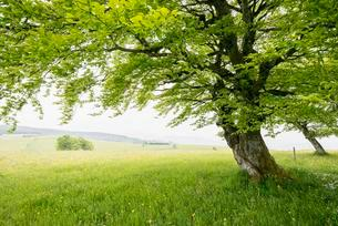 Wind blown European beech or common beech (Fagus sylvatica)の写真素材 [FYI02339620]