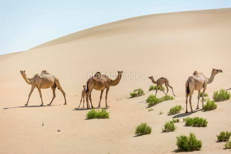 Dromedaries (Camelus dromedarius) with young in sand dunesの写真素材 [FYI02339627]