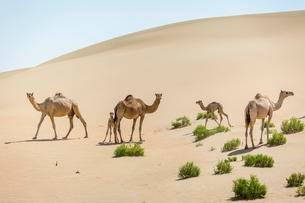 Dromedaries (Camelus dromedarius) with young in sand dunesの写真素材 [FYI02339627]