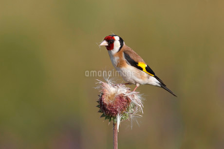 European Goldfinch (Carduelis carduelis) perched on a Muskの写真素材 [FYI02339635]