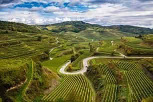 Autumnal vineyards near Oberbergen, Kaiserstuhlの写真素材 [FYI02339661]
