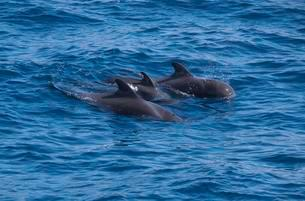 Small group of pilot whales (Globicephala), Atlantic off Laの写真素材 [FYI02339664]