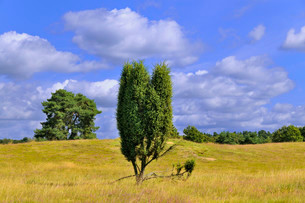 Common Juniper (Juniperus communis), Westruper Heide natureの写真素材 [FYI02339705]