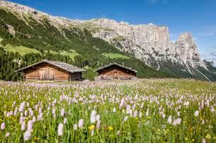 Flower meadow in the spring on the Seiser Alm in theの写真素材 [FYI02339744]