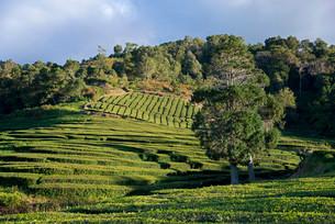 Tea plantation, Cha Gorreana, Maia, Sao Miguel, Azoresの写真素材 [FYI02339748]