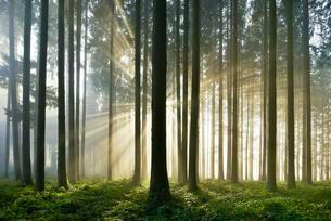 Spruce forest with sunbeams through mist, Lindenbergの写真素材 [FYI02339760]