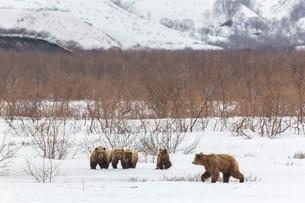 Brown bear (Ursus arctos) family in the snow, Kamchatkaの写真素材 [FYI02339794]