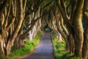 Beech tree avenue, The Dark Hedges, Ballymoney, Countyの写真素材 [FYI02339803]