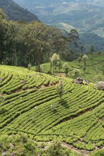 Dambatenne Tea Estate landscape, Sri Lanka, Asiaの写真素材 [FYI02339819]