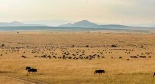 Herd of wildebeests or gnus (Connochaetes taurinus)の写真素材 [FYI02339823]