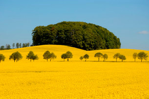 Field of rape (Brassica napus) with avenue and forestの写真素材 [FYI02339829]