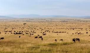 Herd of wildebeests or gnus (Connochaetes taurinus)の写真素材 [FYI02339835]