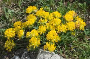 Alpine Kidney Vetch (Anthyllis vulneraria alpestris), Alpの写真素材 [FYI02339839]