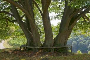 Gerichtslinde, court linden tree, Linden am Schlossbergの写真素材 [FYI02339846]