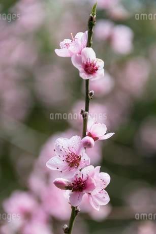 Almond Tree (Prunus dulcis), almond blossom, La Palmaの写真素材 [FYI02339860]