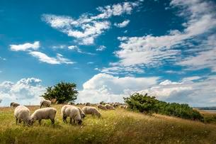 Flock of sheep, grass landscape, Monchgut Nature Reserveの写真素材 [FYI02339875]