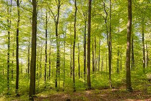 Spring in the beech forest, Beech (Fagus sp.), Guxhagenの写真素材 [FYI02339884]