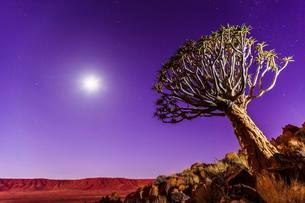 Quiver tree or kokerboom (Aloe dichotoma) in front ofの写真素材 [FYI02339886]