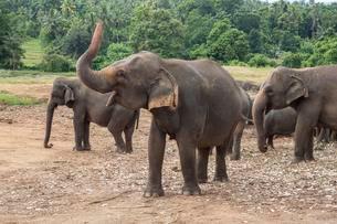 Asian elephant (Elephas maximus) herd, Pinnawala Elephantsの写真素材 [FYI02339954]