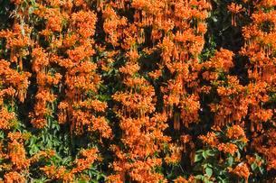 Flowering flamevine, orange trumpetvine (Pyrostegiaの写真素材 [FYI02339959]