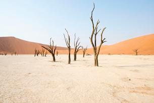Dead camel thorn trees (Acacia erioloba) in Deadvleiの写真素材 [FYI02339964]