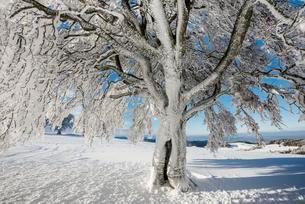 Snowy beech tree (Fagus), Schauinsland, Freiburg imの写真素材 [FYI02339968]