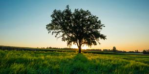 Old English oak (Quercus robur), Swabian Juraの写真素材 [FYI02339972]