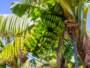 Banana plantation, near Tazacorte, La Palma, Canaryの写真素材 [FYI02339981]