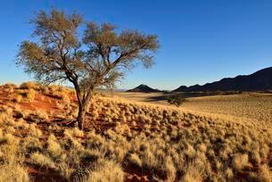 Acacia tree at NamibRand Nature Reserve, Namib Desertの写真素材 [FYI02340016]