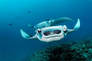 Open-mouthed reef manta ray (Manta alfredi), coral, Indianの写真素材 [FYI02340039]