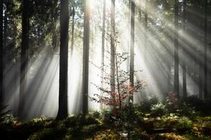 Rays of sunlight shining through trees in fog, spruceの写真素材 [FYI02340044]