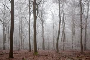 Winter forest, deciduous forest with fog and hoarfrostの写真素材 [FYI02340048]