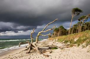 Dead tree on the west beach at the Baltic Sea, dark cloudsの写真素材 [FYI02340052]